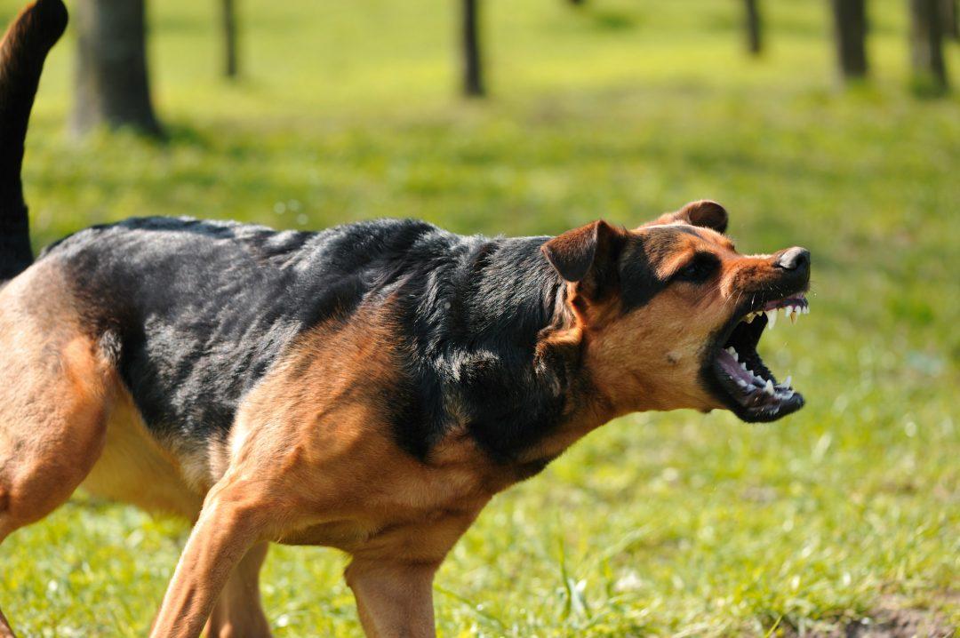 dogs bite Dog bite injury photographs & reconstruction techniques by california animal behavior dog bite expert witness, richard polsky, phd.